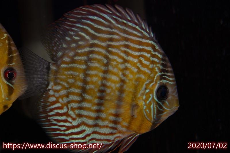 画像1: 【30%OFF】【熱帯魚】【ディスカス】【個体販売】プルス スーパーロイヤル16cmNo10プルス産(ワイルドディスカス)(生体)(淡水) (1)