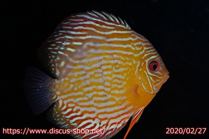 画像1: 【30%OFF】【熱帯魚】【ディスカス】【個体販売】プルス スーパーロイヤル16cmNo12プルス産(ワイルドディスカス)(生体)(淡水) (1)