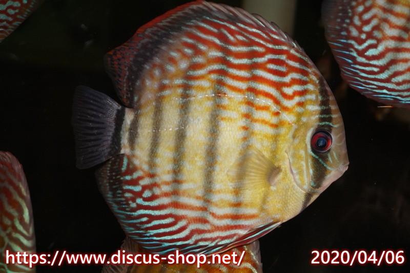 画像1: 【熱帯魚】【ディスカス】【個体販売】オリキシミーナ ロイヤル17cmオリキシミーナ産(ワイルドディスカス)(生体)(淡水) (1)
