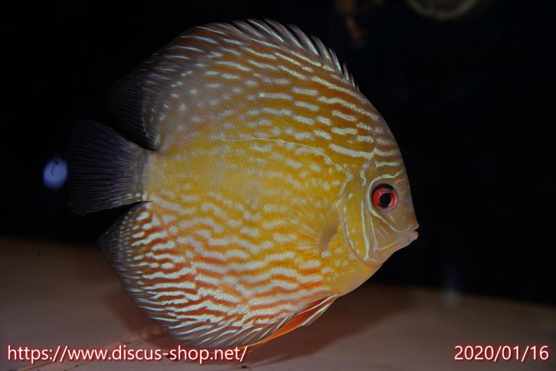 画像1: 【熱帯魚】【ディスカス】【個体販売】トロンベタス スーパーロイヤル15cmNo30トロンベタス産(ワイルドディスカス)(生体)(淡水) (1)