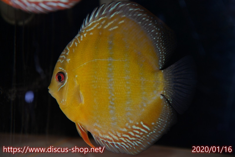 画像1: 【熱帯魚】【ディスカス】【個体販売】トロンベタス スーパーレッド センターバー16cmNo42トロンベタス産(ワイルドディスカス)(生体)(淡水) (1)