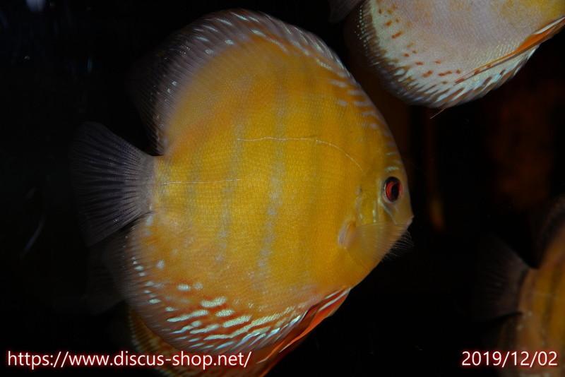 画像1: 【熱帯魚】【ディスカス】【個体販売】トロンベタス レッド17cmトロンベタス産(ワイルドディスカス)(生体)(淡水) (1)