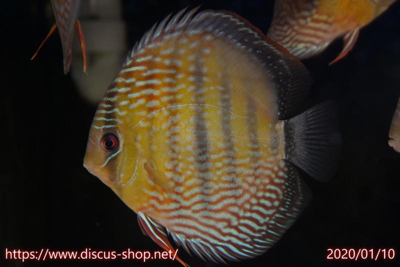 画像1: 【熱帯魚】【ディスカス】【個体販売】アレンカー クリペア ロイヤル16cmアレンカー クリペア産(ワイルドディスカス)(生体)(淡水) (1)