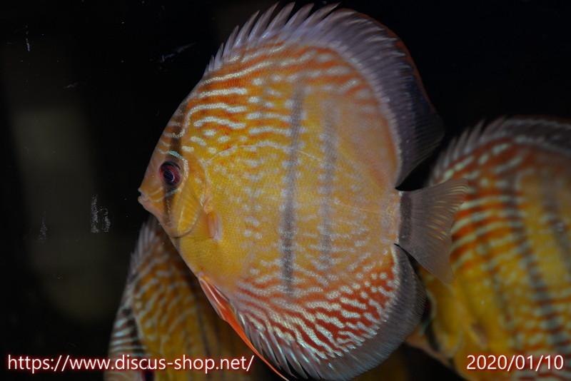 画像1: 【熱帯魚】【ディスカス】【個体販売】アレンカー クリペア ロイヤル14cmアレンカー クリペア産(ワイルドディスカス)(生体)(淡水) (1)