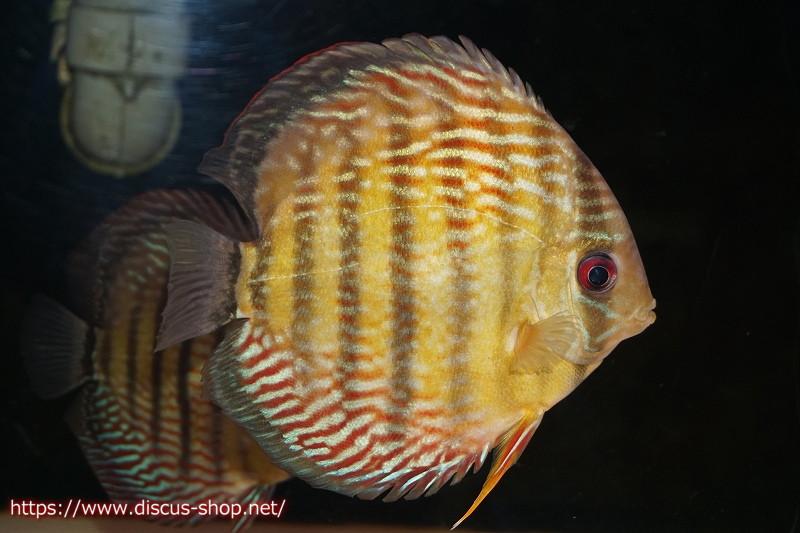 画像1: 【熱帯魚】【ディスカス】【サンプル画像販売】アレンカー クリペア ロイヤル16cmアレンカー クリペア産(ワイルドディスカス)(生体)(淡水) (1)