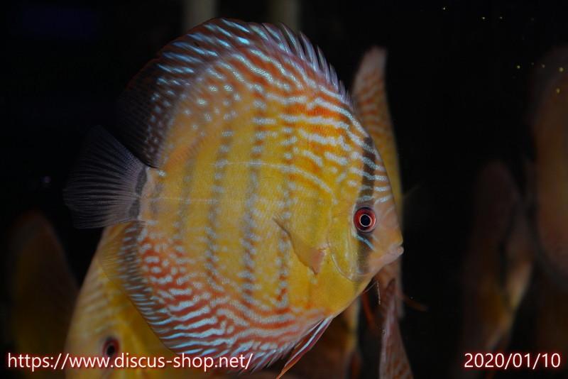 画像1: 【熱帯魚】【ディスカス】【サンプル画像販売】アレンカー クリペア ロイヤル15cmアレンカー クリペア産(ワイルドディスカス)(生体)(淡水) (1)