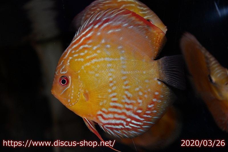 画像1: 【熱帯魚】【ディスカス】【個体販売】アレンカークリペア スーパーレッド12cm(ワイルドディスカス)(生体)(淡水) (1)