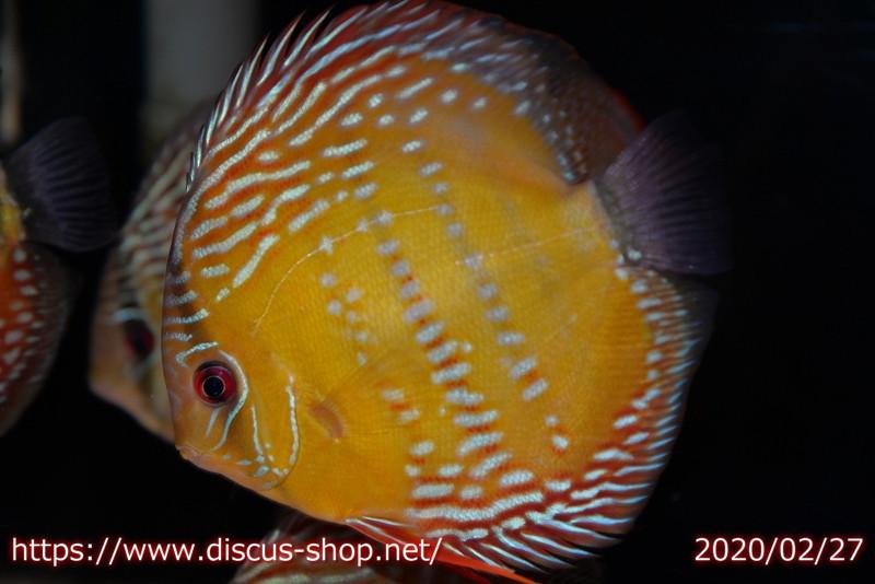 画像1: 【熱帯魚】【ディスカス】【個体販売】アレンカークリペア ロイヤル15cm(ワイルドディスカス)(生体)(淡水) (1)