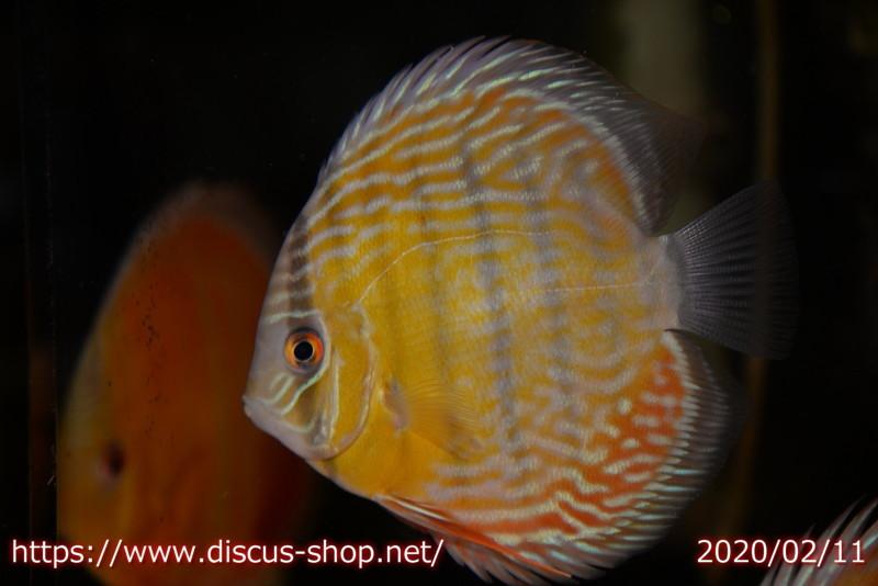 画像1: 【熱帯魚】【ディスカス】【個体販売】イアプア ロイヤルブルー ヤングスター11cmイアプア産(ワイルドディスカス)(生体)(淡水) (1)